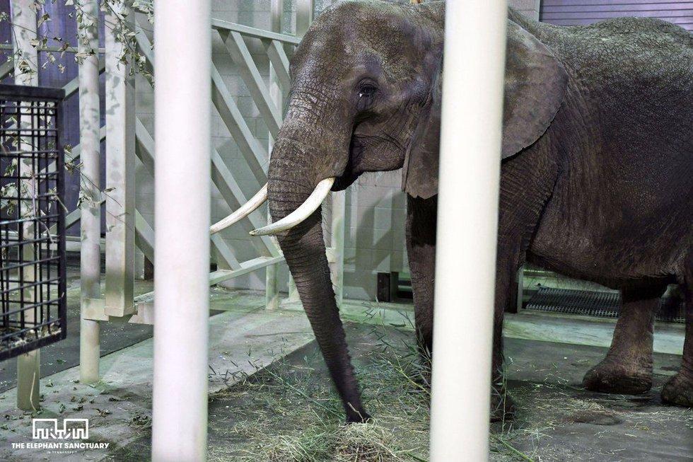 Nosey the elephant (Courtesy: The Elephant Sanctuary)