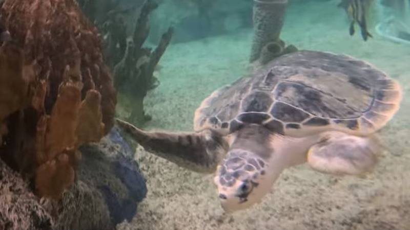Cook Museum of Natural Science is now home to a Kemp's ridley sea turtle named Kale.