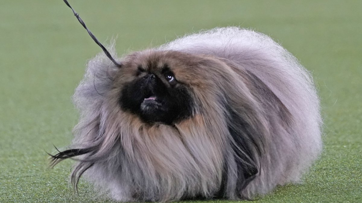 A Pekingese walks with its handler in the Best in Show at the Westminster Kennel Club dog show,...