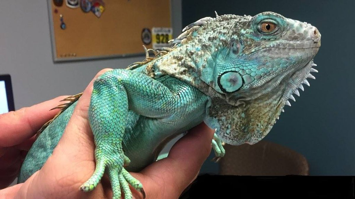 The iguana used as a weapon in Painesville (Source: Painesville police)