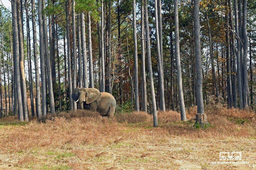 Nosey (Courtesy: The Elephant Sanctuary)