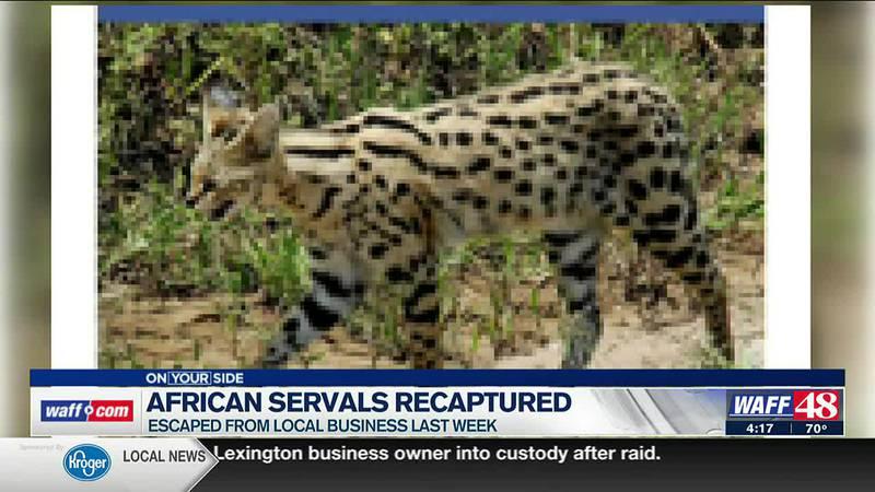 African servals recaptured