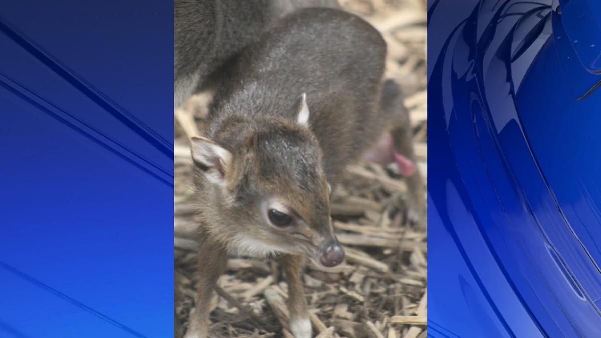 Chattanooga Zoo welcomes new baby Blue Duiker