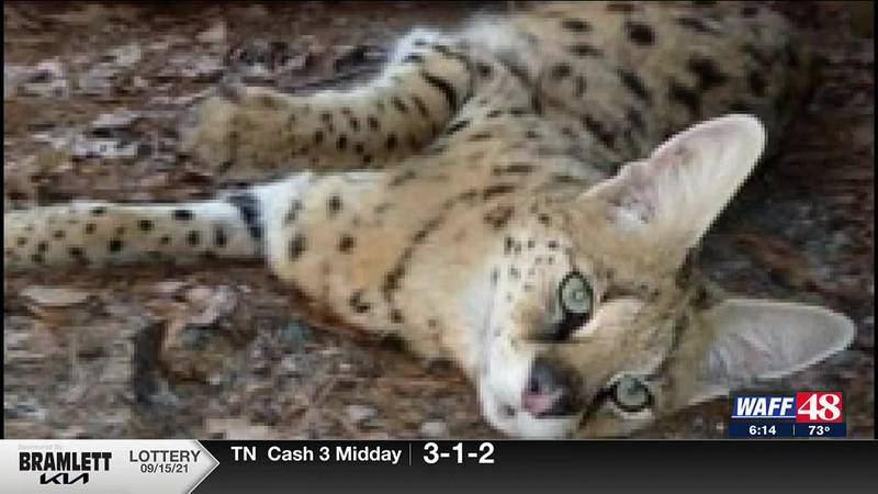 Two Serval's on the loose in Madison County
