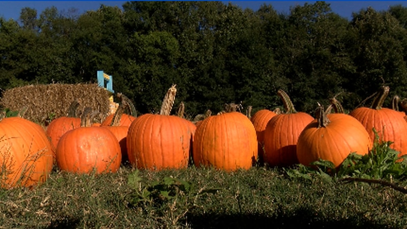 Employees had to make a mad dash to the crop Wednesday to pull the pumpkins out of the soaked...