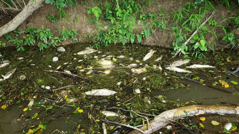 A sewage spill left dead fish in Cullman County.