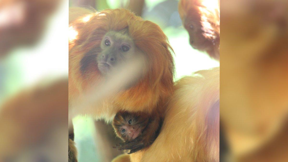 Baby Golden Lion Tamarin, Tamale, born at Chattanooga Zoo