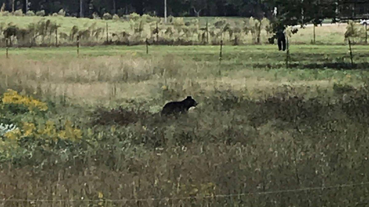 Albertville police responded to a bear sighting off Highway 75 near Edmondson Street on Oct....