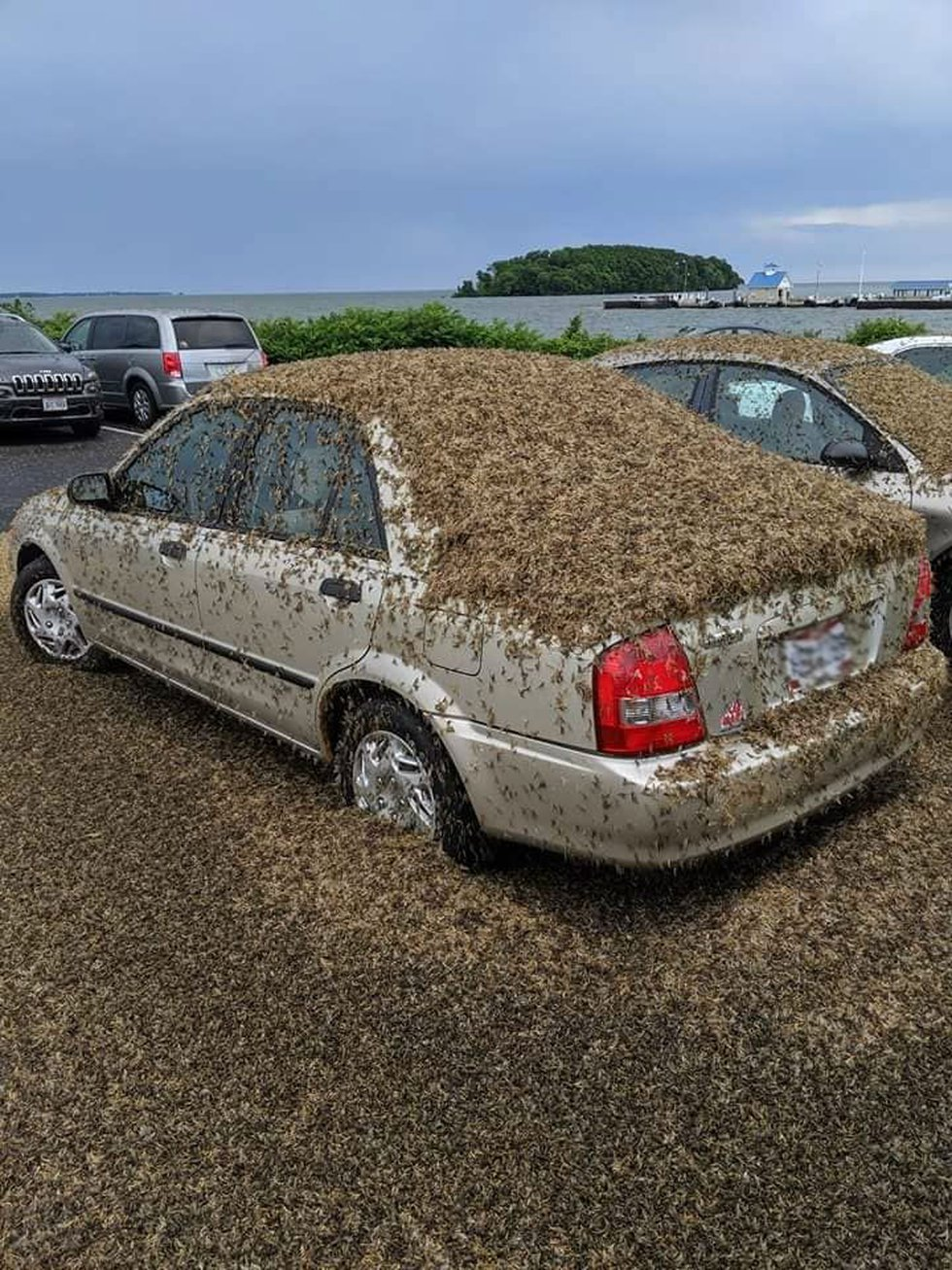 Mayflies cover car near Port Clinton